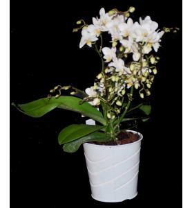 Orchidée blanche à petit...