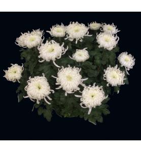 Chrysanthème grosses têtes...